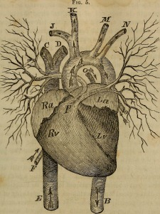 Human heart, public domain, by Internet Archive Book Images, via Wikimedia Commons