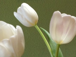 Image of white tulips
