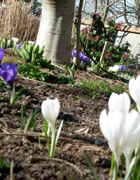 Crocus and Fig Tree