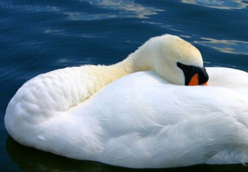 Image of Peaceful Swan